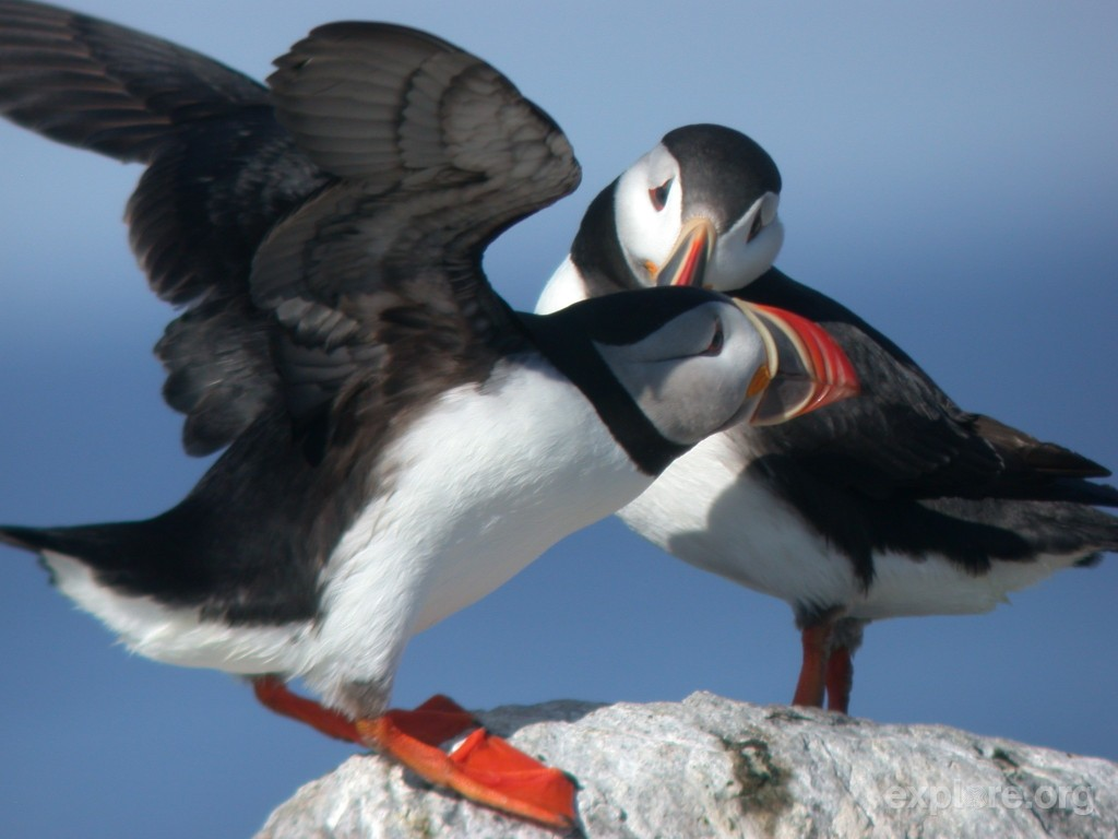 landing-puffins-on-matinicus-rock