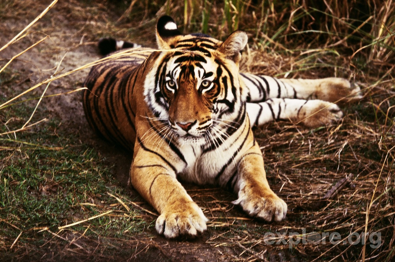 The Hunted Tigers of India | Explore