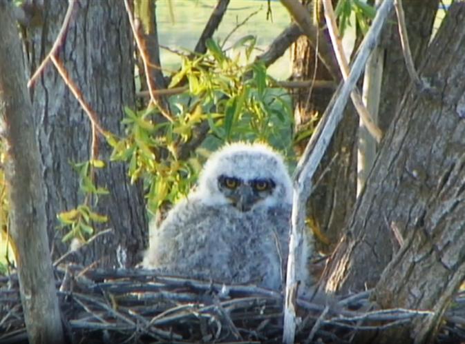 ~Great Horned Owl~ (534977)
