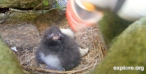 Puffin Chick 6_29_3
