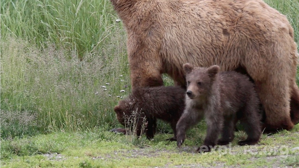 explore-brooks-camp-sow-and-cubs3