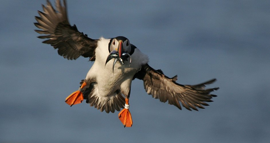 flying-puffin-with-fish-scholtz