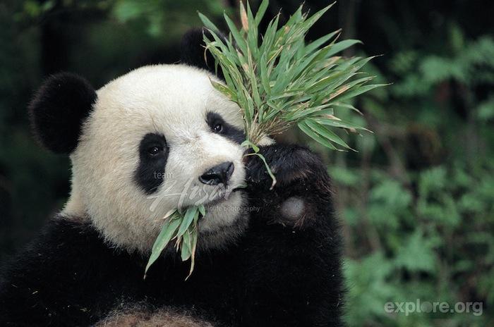 Panda fun facts explore