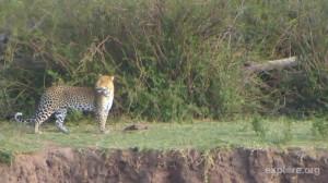 Leopard (592426)