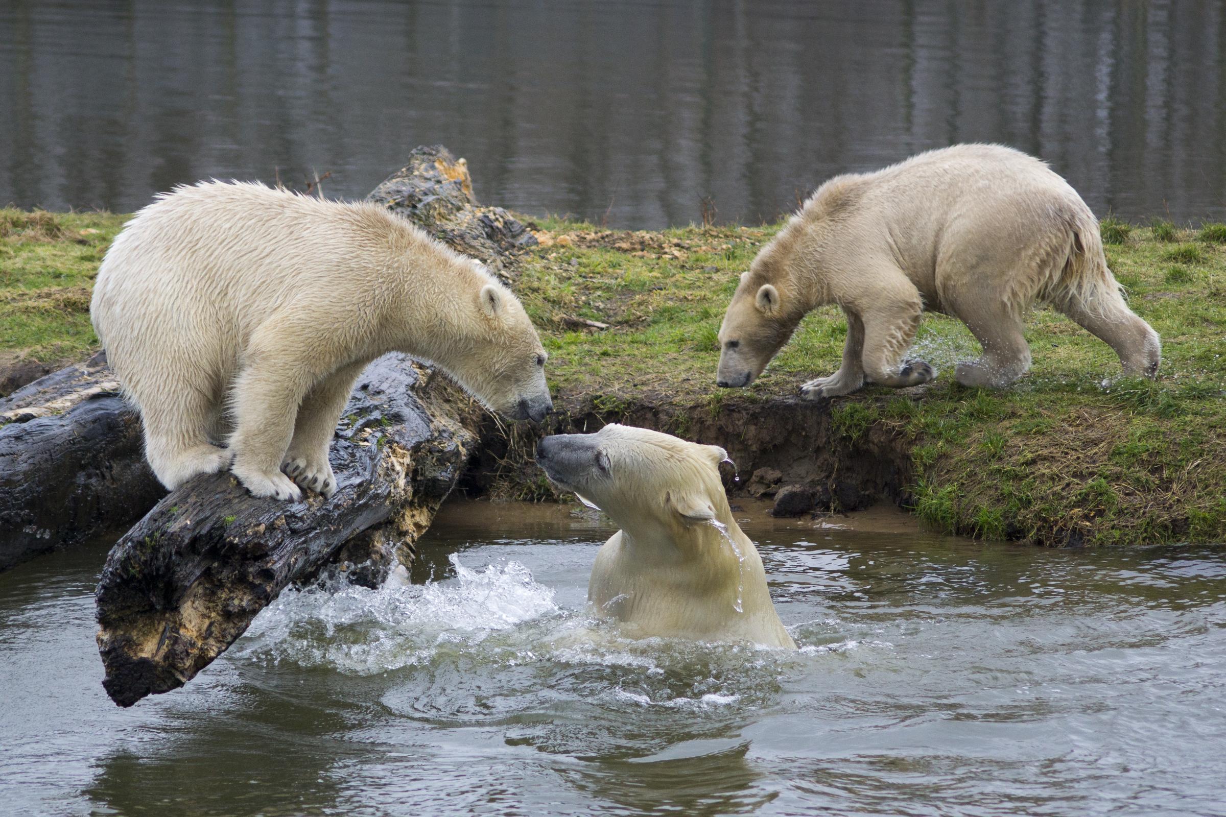 baad45787c6e5 Polar Bears  Identifying Siku s Family   Early Sightings on Beluga Cam!
