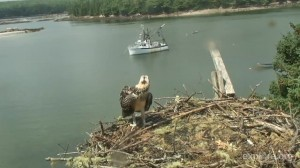 Pia, the last of the Osprey siblings, looks over the nest edge in Hog Island, ME