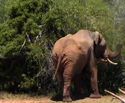 elephant_africa_butt