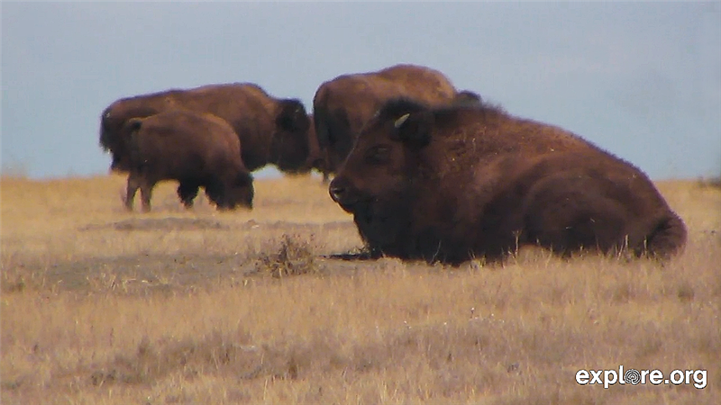 Bison in April_buffalo_grasslandsjpg