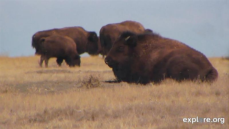 Bison in April_buffalo_grasslandsjpg