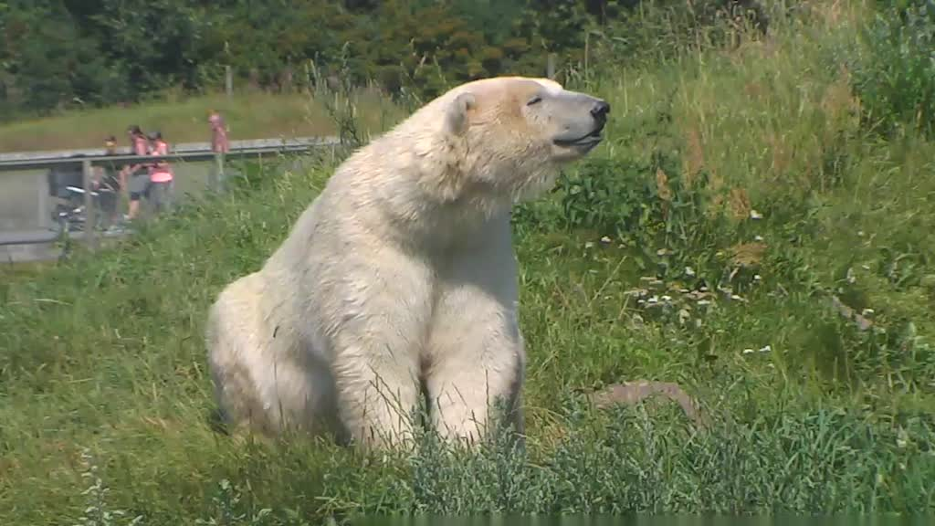 Polar bear smiling - photo#18