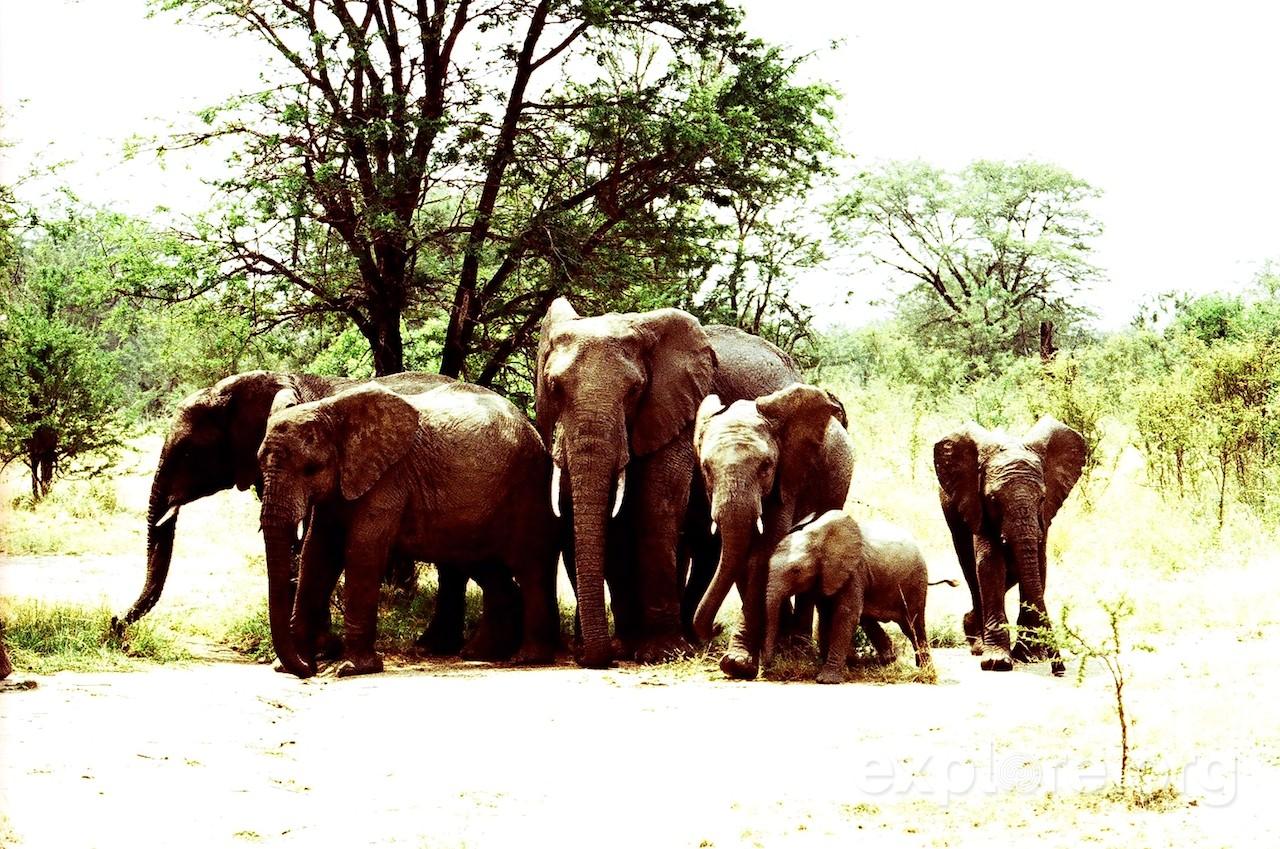 african-elephants-serengeti