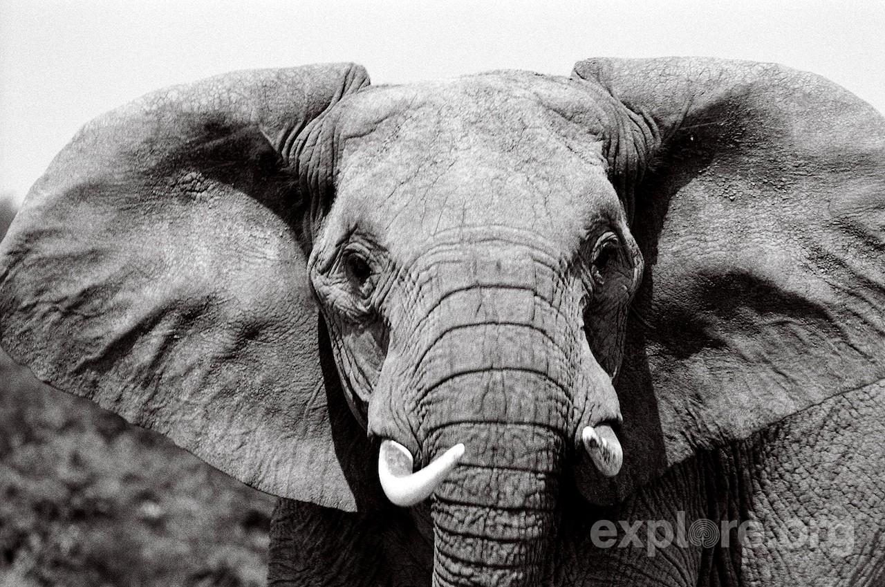 elephant-face