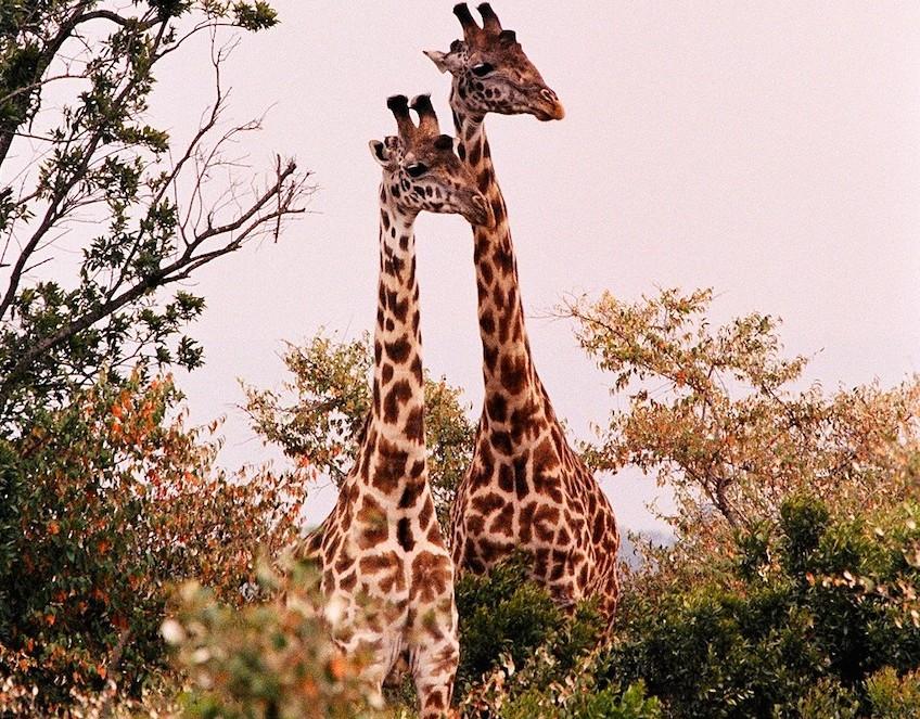 giraffes-trees
