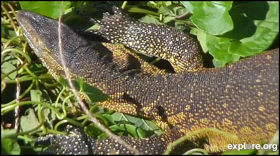 Nile Monitor Lizard, Snapshot from Nance