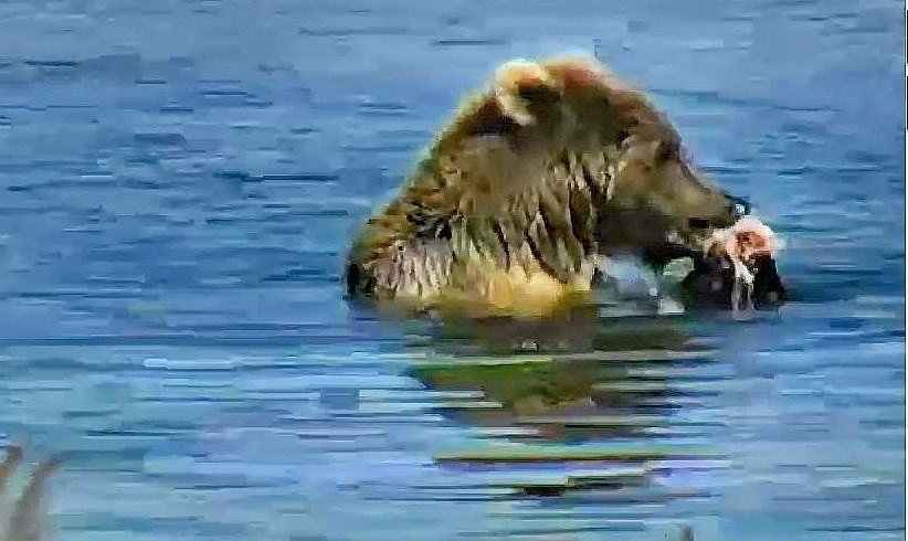 Brown Bear Having a Sushi Lunch, Snapshot from Cog