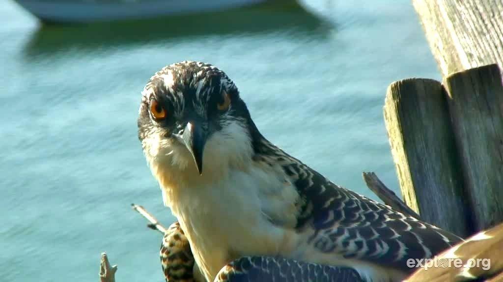 Osprey_Portrait_HogIsland