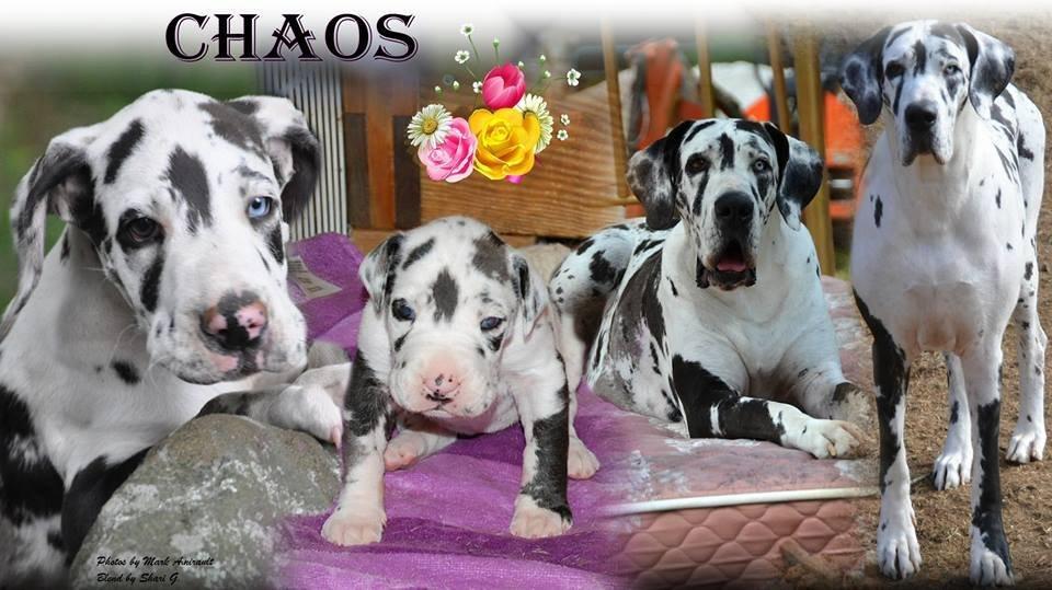Chaos_GreatDane_SDP_Dog