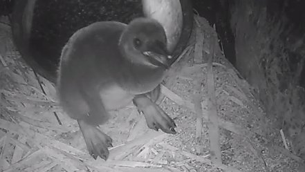 Samantha Eye's Snapshot of the Penguin Chick