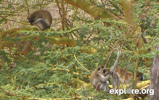Snapshot of Grooming Monkeys from CamOpEle