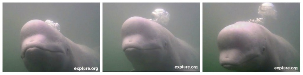 beluga_captioncontest_bubbles_whale