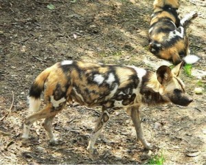 Wild Dogs in Mpala