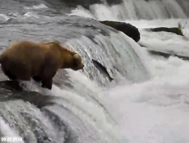 captionthis_Brownbear_Katmai_SalmonJump