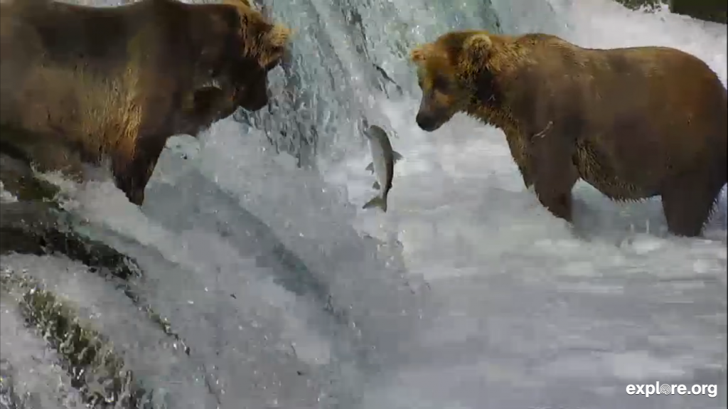 FeedingTime_SalmonJump_Bears