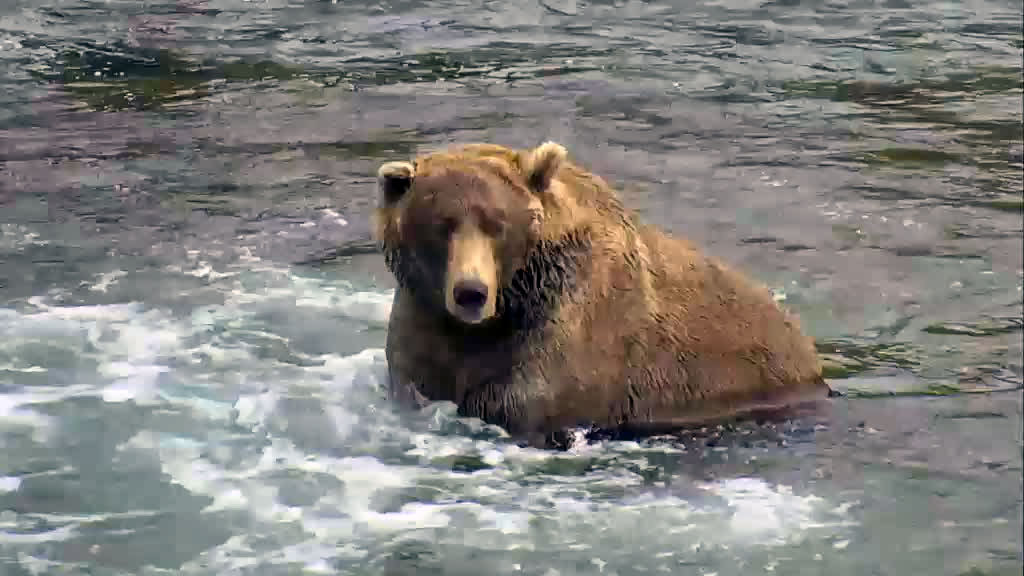 brown bear in river fishing for salmon