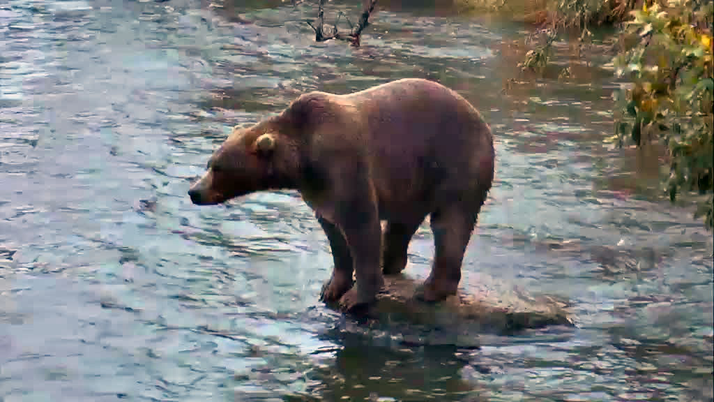 brown bear on a rock in katmai national forrest