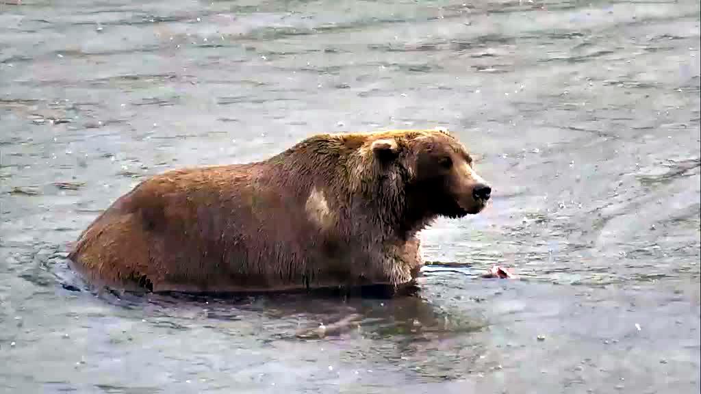 brown bear at katmai national park