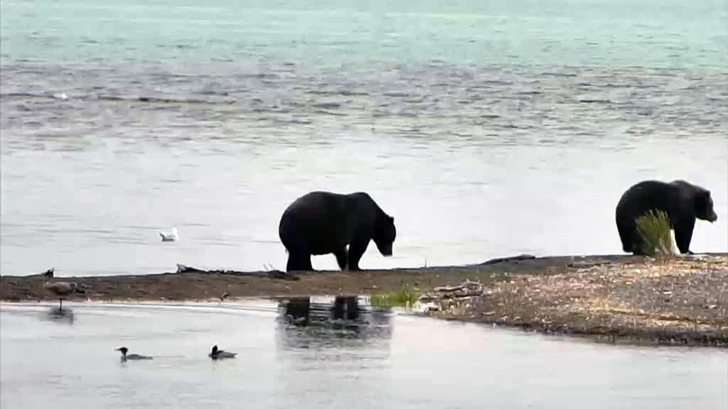 2 katmai river brown bears