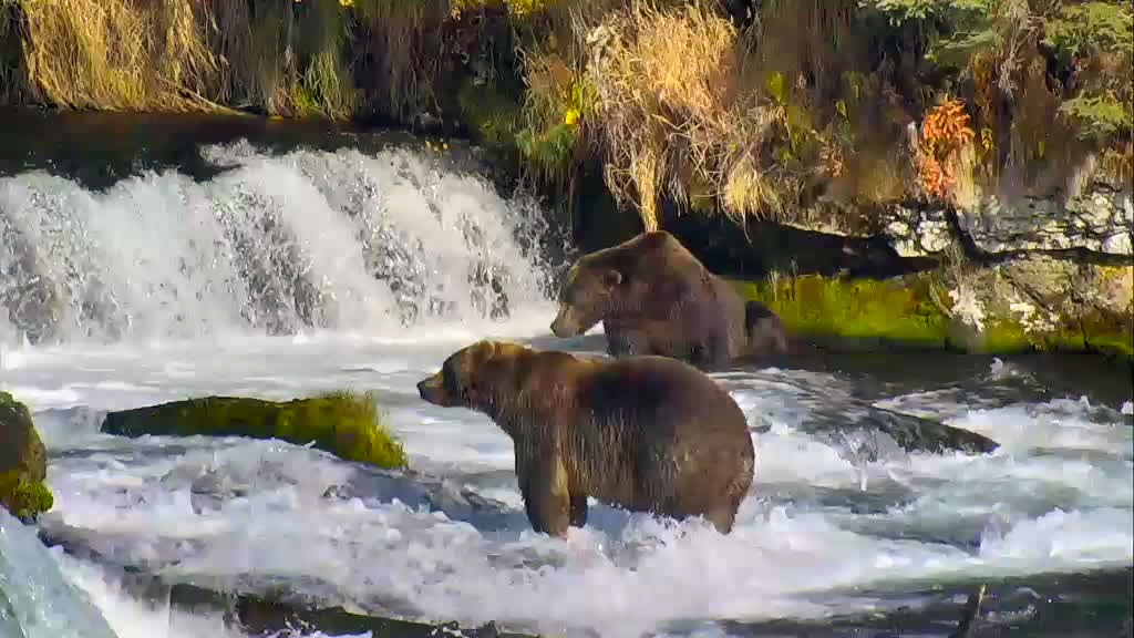 Two bears fishing in Brooks Falls, Alaska