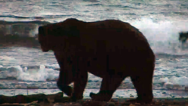 brown bear silouette
