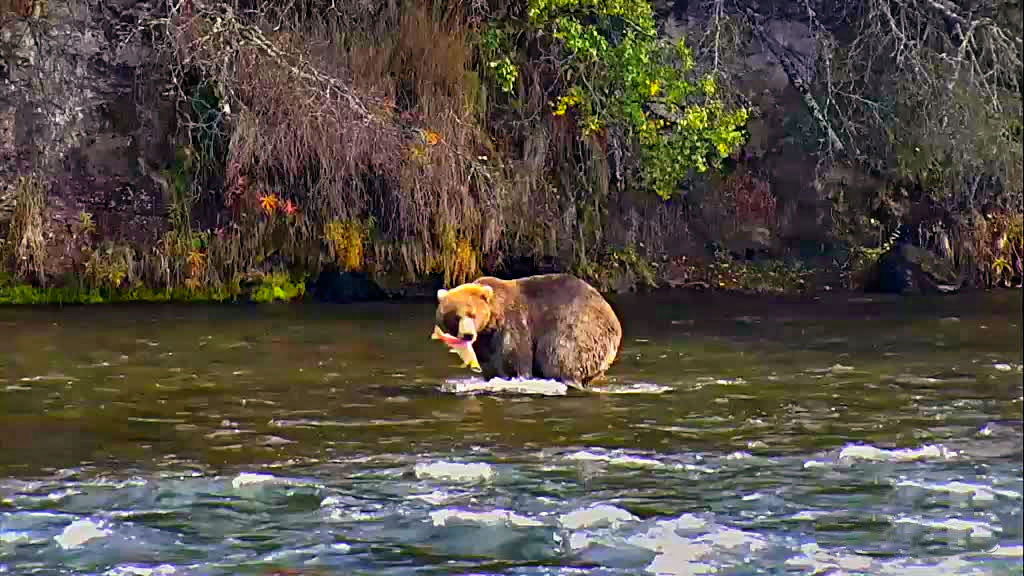 brown bear eaglenut