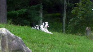 great dane photo captured by member heather NS CAN