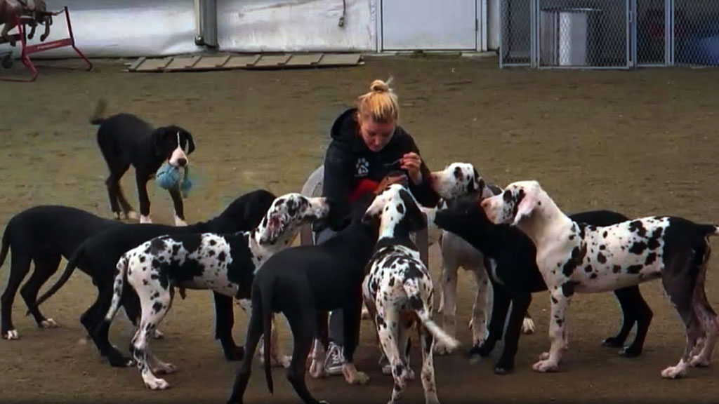 great dane service dogs in training