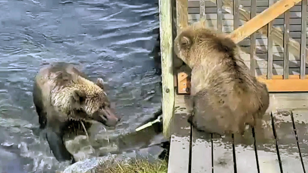 two brown bears in katmai national park river