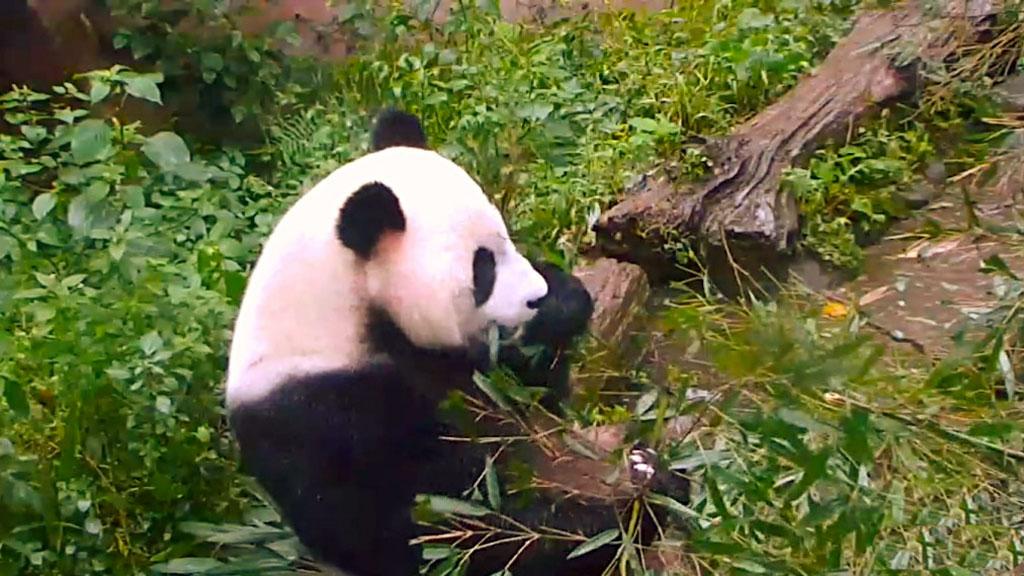 Panda Munching on some Bamboo