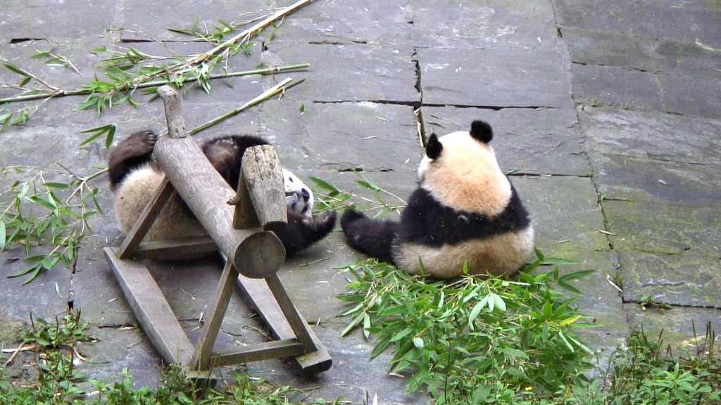 panda bear cubs playing