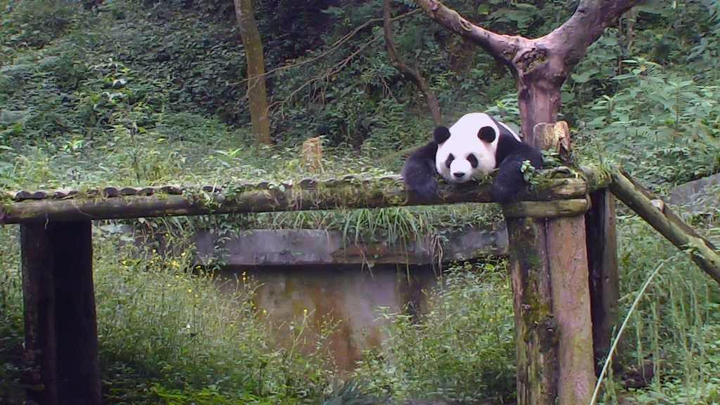 giant panda bear napping