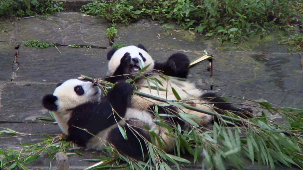 giant panda bears eating