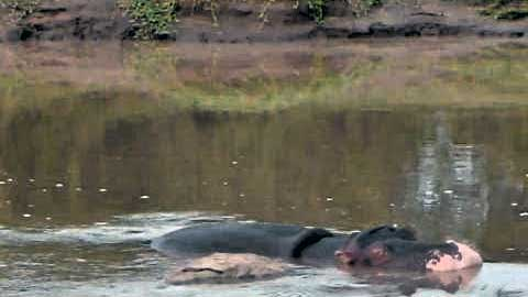 pink nose hippo in water