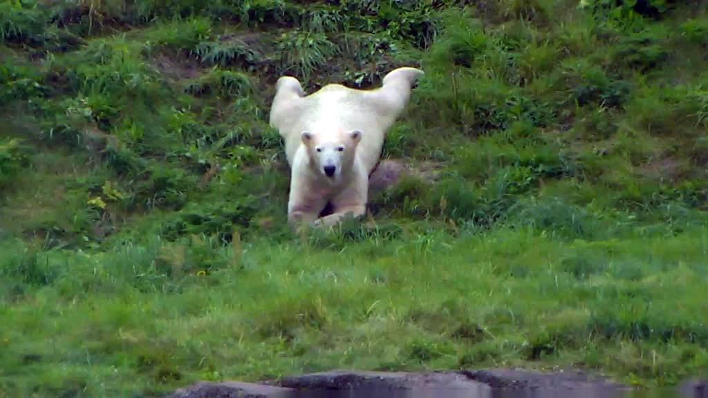 polar bear sprawled out on the grass