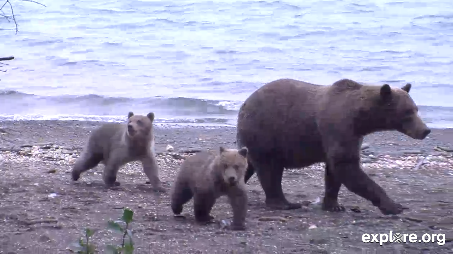 Brown Bear Family Walks On to Live Chat