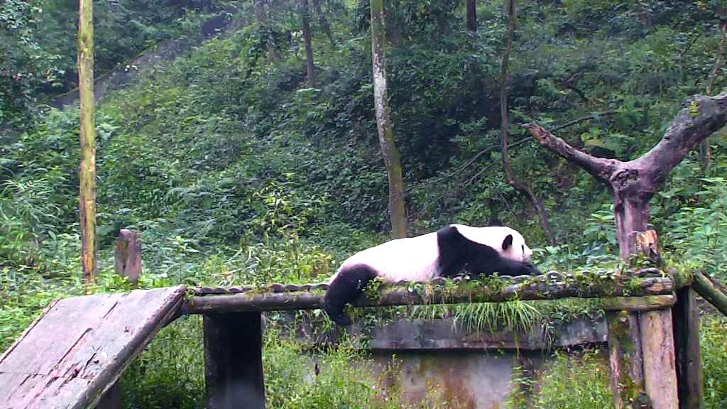 panda bear lying down