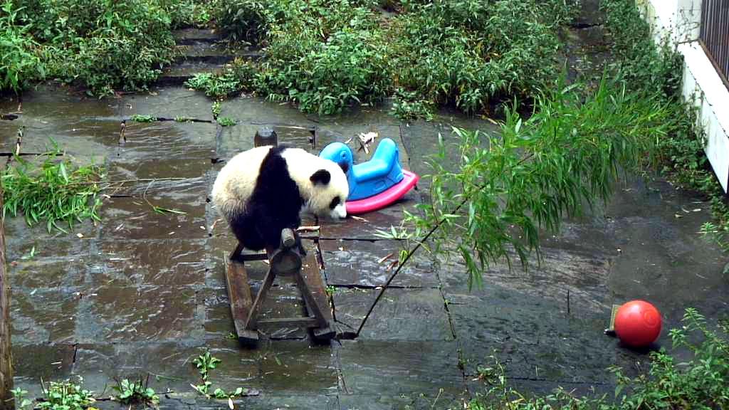 giant panda bear playing