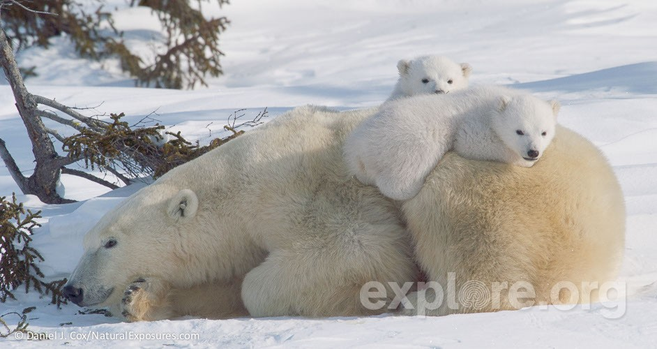 mother-and-cub-polar-bears-traveling-towards-hu