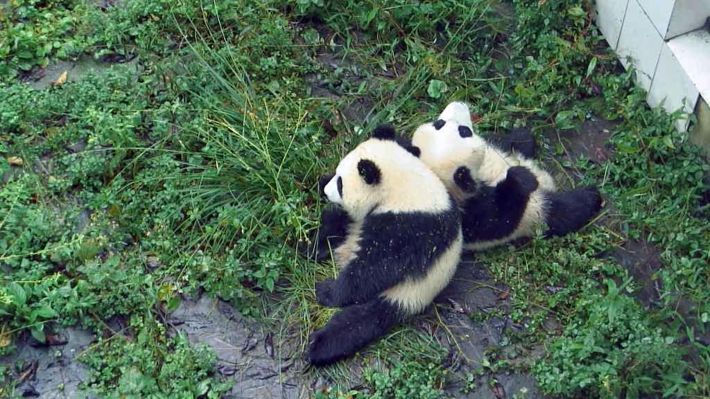 panda bear cubs