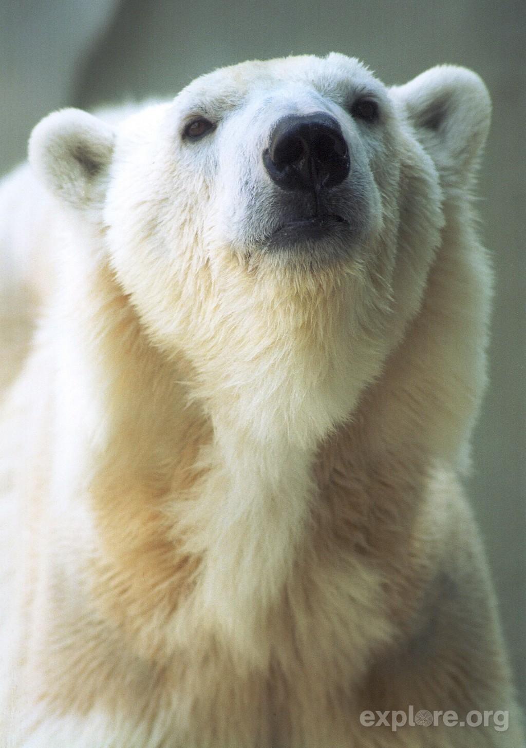 polarbearface