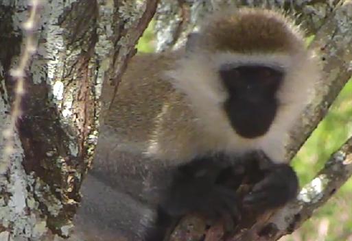 Vervet Monkey, Snapshot from BeckyT-GA